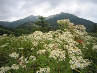 高峰高原のリンドウ