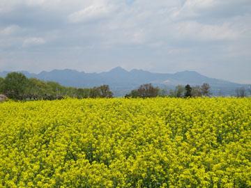 鼻高展望花の丘「菜の花祭り」