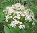 湯の丸山・烏帽子岳で出会った花たち