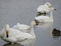 本埜の白鳥