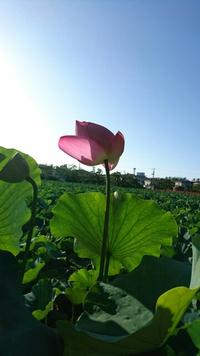高田公園の蓮と…お寿司