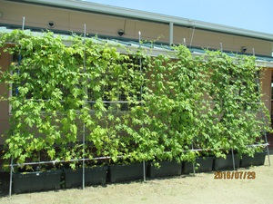 北橘幼稚園のグリーンカーテン