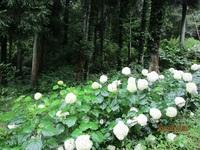 市民花壇のアナベル