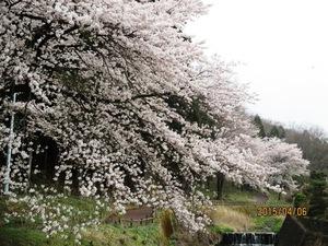 今日の小野池の桜