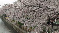桜の満開を満喫したい!