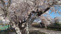 素晴らしき満開の桜に囲まれて