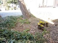 今年もまたすみおばあちゃんの福寿草。