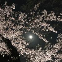 満開の桜と満月