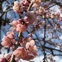 梅と河津桜の共演