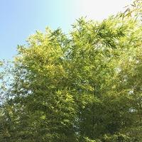 天の竹と地の竹