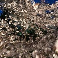 強風に踊る夜桜