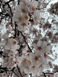 お堀の桜 2020/03/29 23:36:08