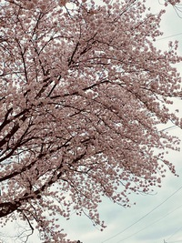 またまた満開の桜