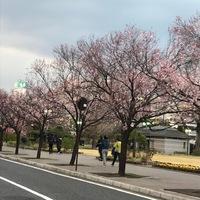 さくら咲く 2018/03/26 12:18:25