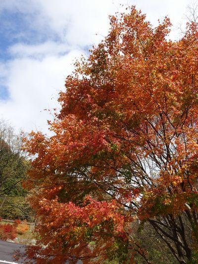 軽井沢の「落ち葉紅葉」