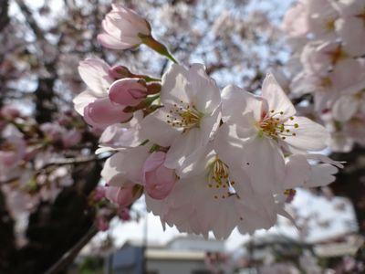 甘楽町で桜散策