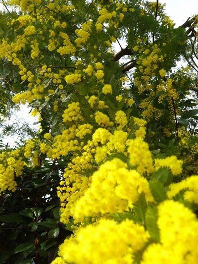 満開のミモザと「春の香り」