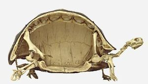 亀の骨ってどうなってるか知ってる?