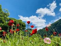 本日6/5、明日6/6は老神温泉ポピーまつりを開催しています!