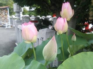 蓮の花 白衣観音慈眼院
