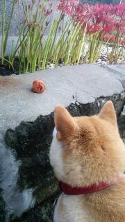 お寺と彼岸花と柴犬