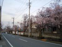 桜の開花 2014 3.29