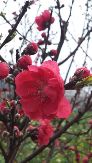 桃の花と菜の花と
