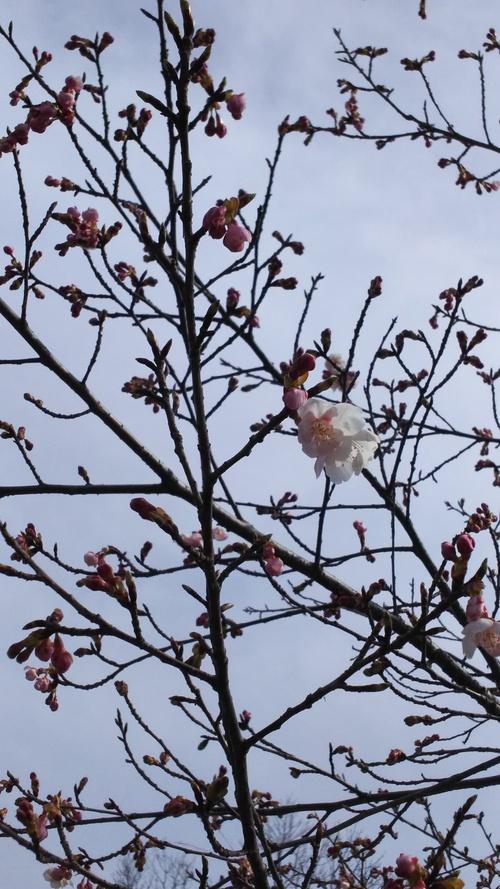 白衣観音と桜