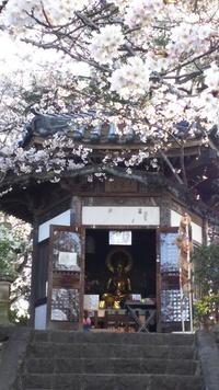 一願観音と桜