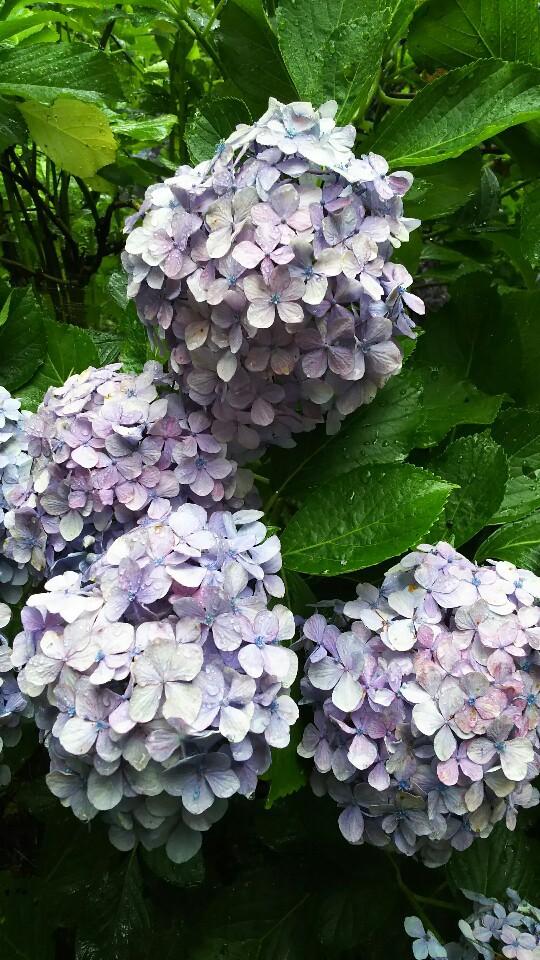 洞窟観音の紫陽花