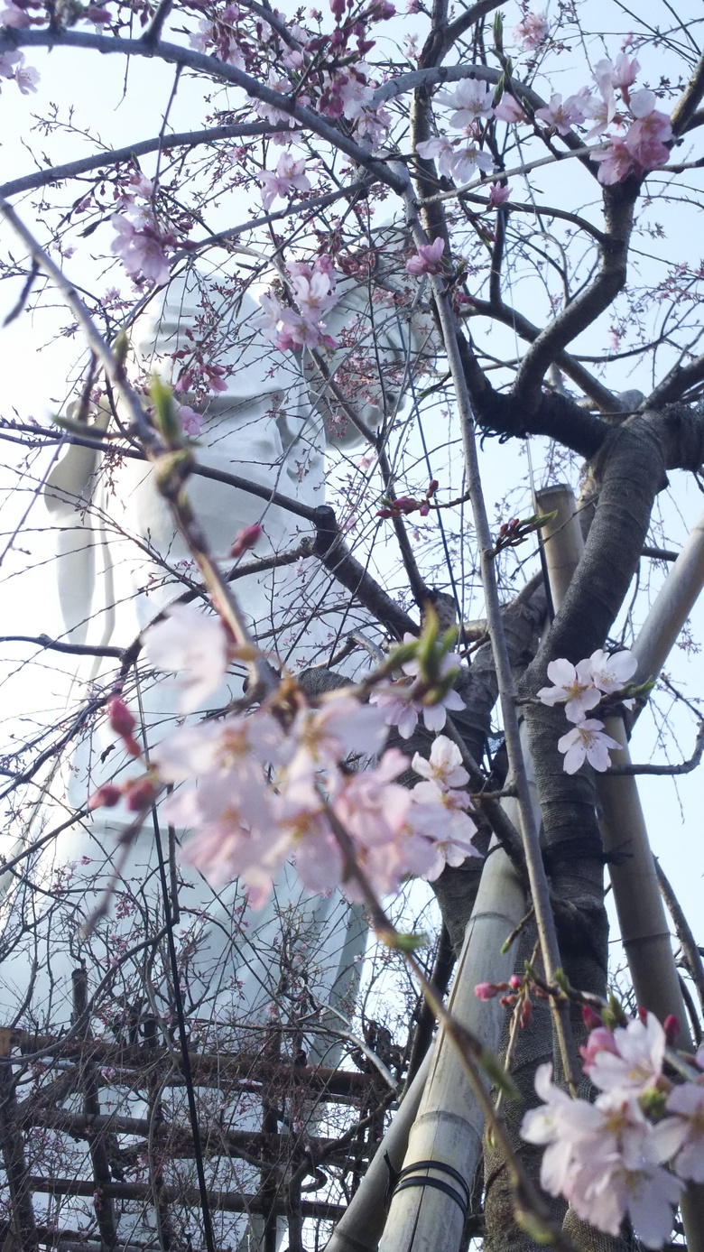 白衣観音としだれ桜