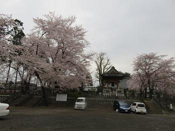 綺麗で長く見させて呉れた今年の白もくれん、桜