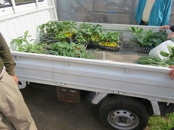 本家の果菜苗も植え頃に成って