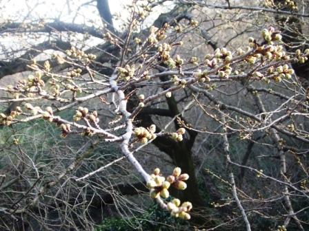 観音山 桜&次回の教室