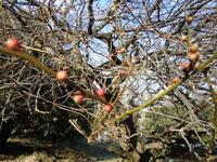 梅とフキノトウ