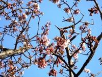 東光寺のヒマラヤ桜
