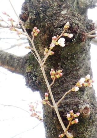観音山の桜 2013.3.25