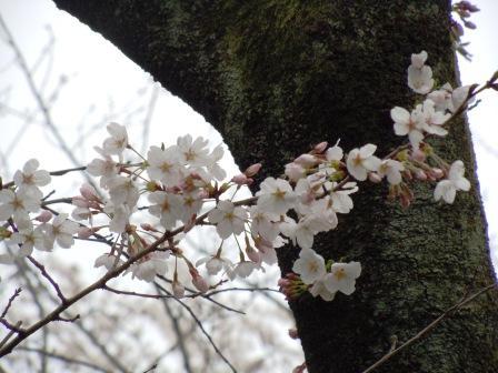 観音山の桜 2013.3.30