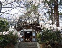 観音山の桜 2013.4.1