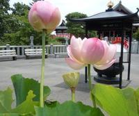 白衣観音と蓮の花