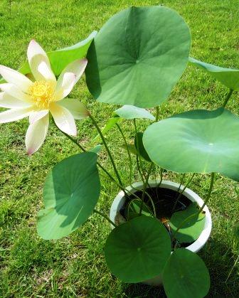 古代蓮の花