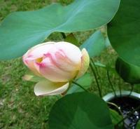 古代蓮の花 開閉