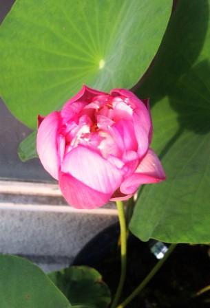 蓮の花 タイ