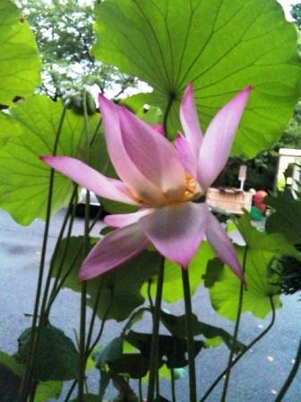 蓮の花 in 観音山