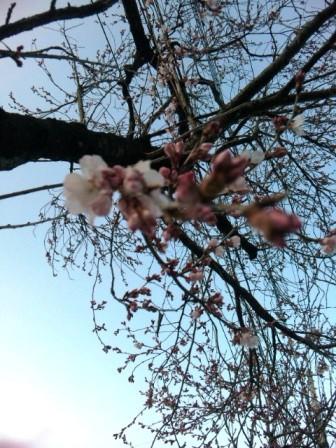 観音山の桜 3/31