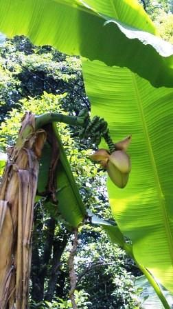 観音山にバナナ