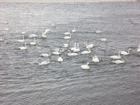 白鳥飛来 in Tamamura