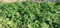 冬のジャガイモ、大根 紅白カブ 順調