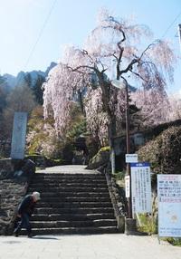 桜の花見と味見♪