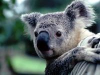 コアラです、可愛いですね
